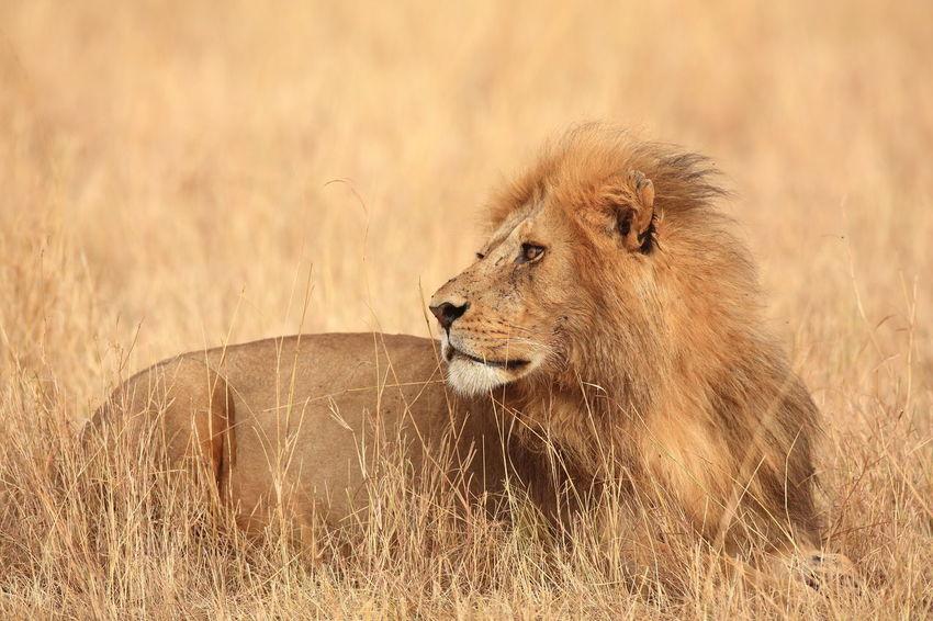 Lion in the Massai Mara, Kenya Africa Animal Themes Animal Wildlife Animals In The Wild Lion Lion King  Maasai Mara Majestic Majestic Lion Male Lion National Parks Kenya Predator Proud Safari Animals Wilderness
