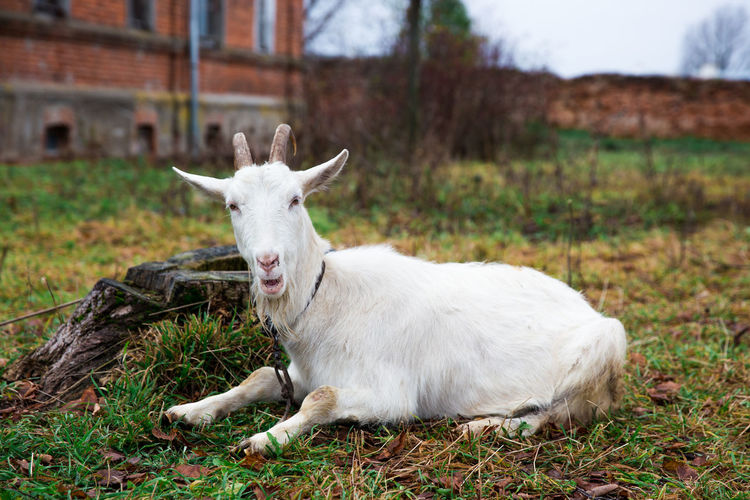 A white domestic goat with funny face is sitting at a meadow on red walls background Agriculture Autumn Farm Funny Goat Grazing Horns Rural Sitting Young Animal Background Cheese Cute Domestic Domestic Animals Field Grass Mammal Meadow Milk Outdoor Village Village Life White