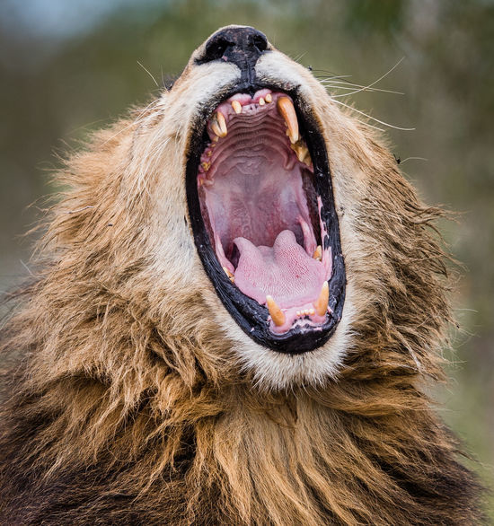 Africa Animal Behavior Animal Body Part Animal Portrait Animal Themes Animal Wildlife Beast Dentist Detail EyeEm Best Shots EyeEm Nature Lover Lion Mammal Mane Masai Mara Nature Safari Safari Animals Teeth Tongue Wildlife Yawning