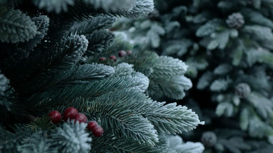 Close-Up Of Snow Covered Pine Tree During Christmas