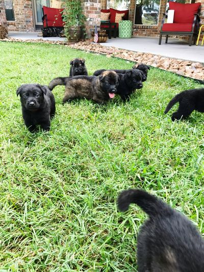 Nature Grass Animal Themes Domestic Animals Mammal Livestock Field Pets Green Color Day No People Outdoors Nature Puppies Germanshepherdpuppy Gsdpuppy Germanshepherddog Onemonthold