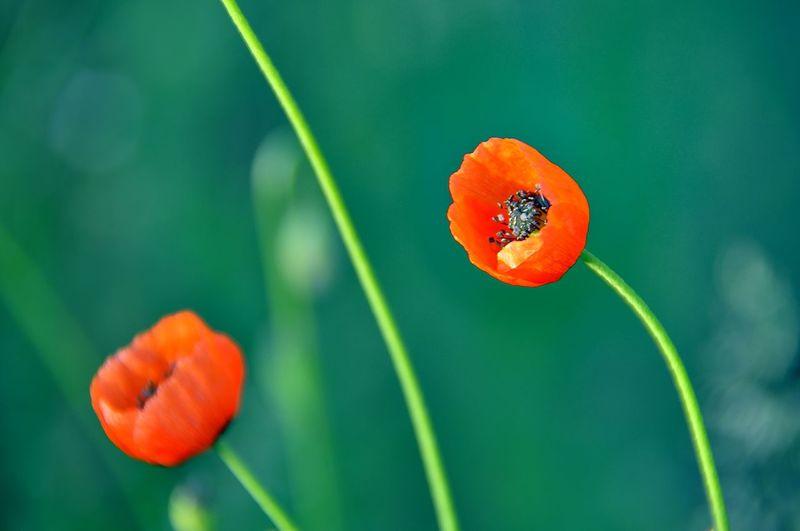 Close-up of orange poppy on plant