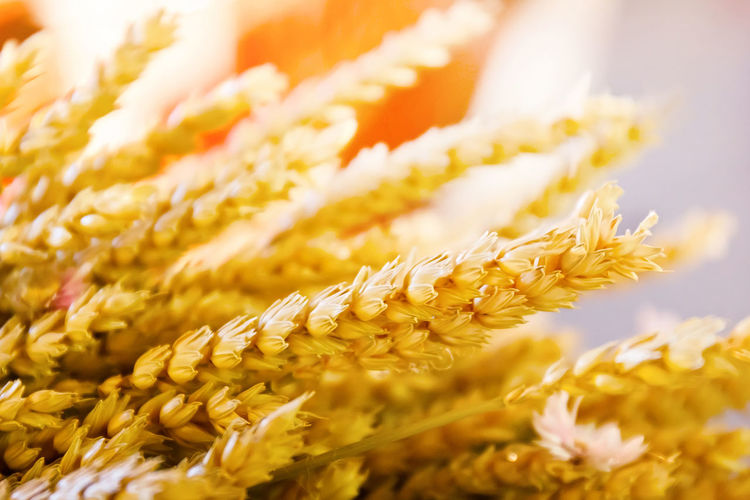 Close-up of yellow wheat with sunlight in the background. Agriculture Backgrounds Beauty In Nature Close-up Detail Gluten Gold Macro Nature RYE Selective Focus Stem Wheat Yellow Yellow