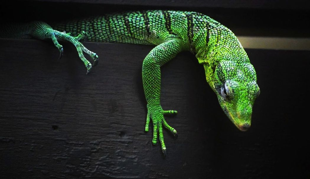 Vibrant Color Zoology Telephoto Lizard Photography Lizard Close Up Green Reptile Reptile World Scales Bristol Zoo Reptilehouse Photography DSLR Dslrphotography Nikon Nikonphotography