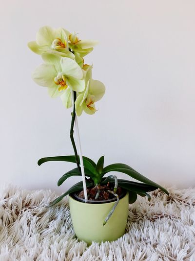 Flower Growth Vase Fragility Leaf Nature No People Plant Beauty In Nature Freshness Green Color Indoors  Flower Head Close-up White Background Day Orchid Blossoms
