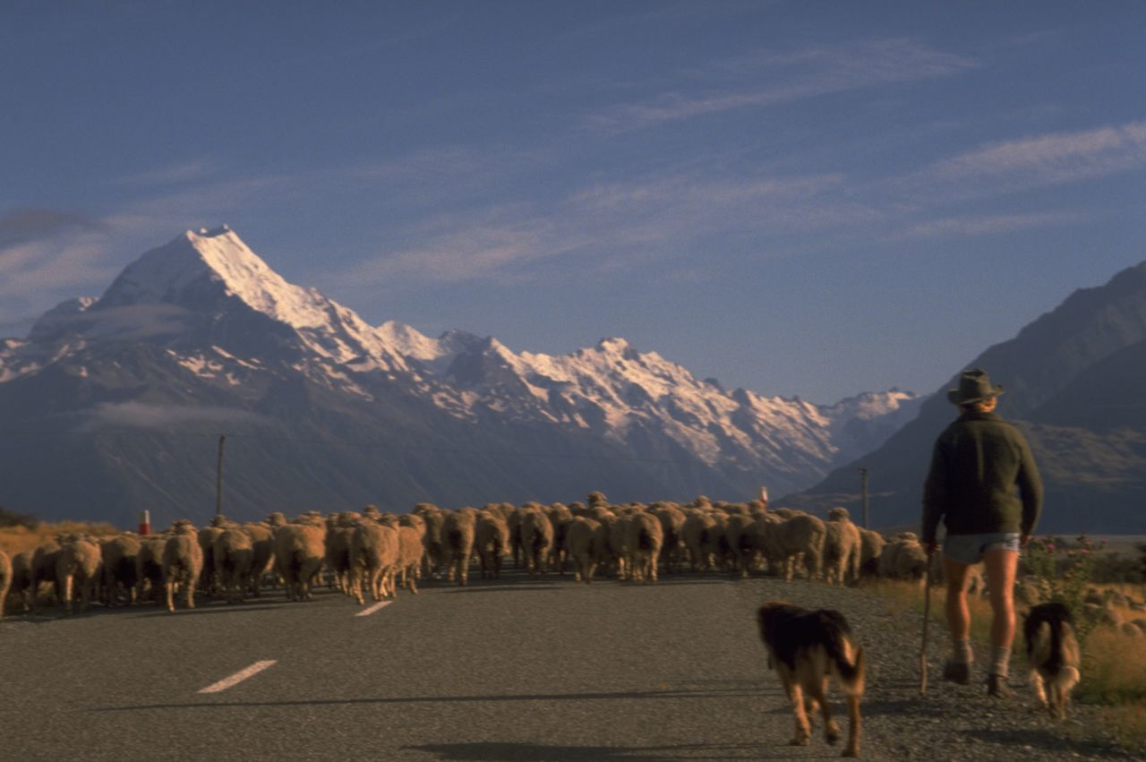 Rear View Of Shepard With Dogs Walking Towards Flock Of Sheep