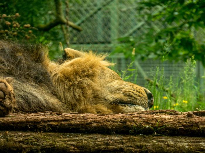 Lion sleeping in a zoo