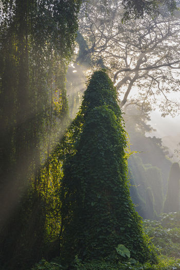 elf Sun Beams Sunrays Rays Sun Fog Mist Misty Foggy Creep Forest Woods Creeper Plant Plant Life WoodLand Tree Tree Area Foggy Growing Long Shadow - Shadow Dense