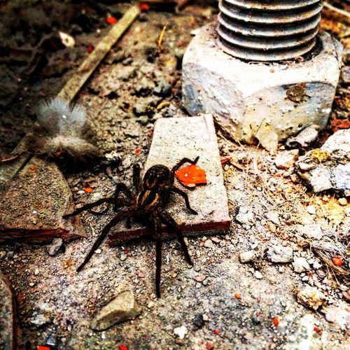 Orumcek Spider Doğa Nature