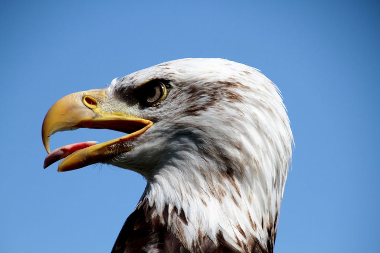 Close-Up Of Bald Eagle Against Clear Blue Sky