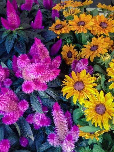 Full frame shot of colorful flowers