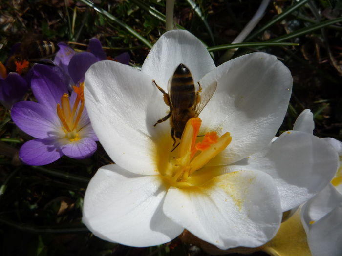 #bee #frühling #krokusse #spring Animal Themes Animal Wildlife Animals In The Wild Beauty In Nature Blooming Close-up Day Flower Flower Head Freshness Growth Insect Nature No People One Animal Outdoors Plant Pollen