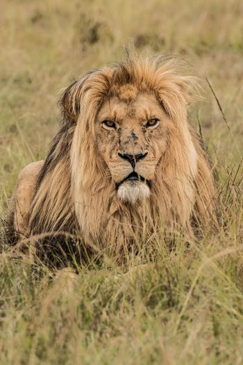 Lion 🦁 Africa Safari Animals Safari South Africa Lion Animal Wildlife Animals In The Wild Cat Animal Feline Animal Themes Mammal Lion - Feline Grass One Animal Big Cat Day Nature Portrait No People Carnivora My Best Photo