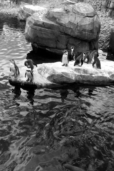 Water Outdoors Sea Life Pinguin Wildlands  V1A Blackandwhite