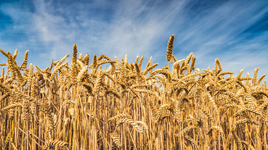 Agriculture Beauty In Nature Cereal Plant Cloud - Sky Crop  Day Environment Farm Field Growth Land Landscape Nature No People Outdoors Plant Rural Scene Sky Stalk Sunlight Tranquility Wheat