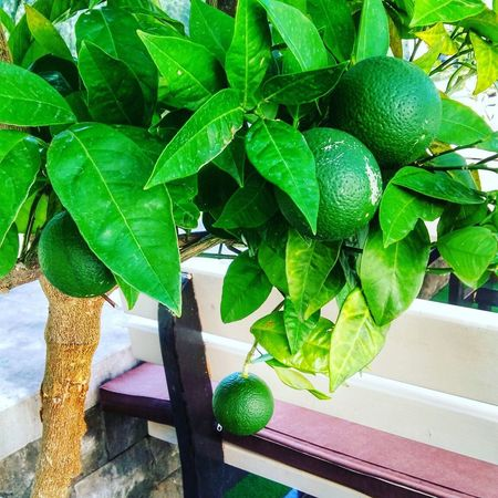 Leaf Green Color Freshness No People Plant Citrus Fruit Healthy Eating Close-up Nature Allgreen Green Citrus  Citrus Fruits Beauty In Nature Allgreeneverything Citron Naturelovers Garden Photography Lovegreen Summer Summertime Growth Fruit g Green Leaves Green Nature