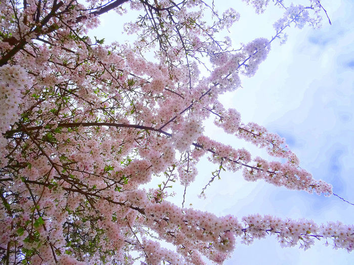 Where love grows and blossoms. Cherry Blossoms Growth Sky And Clouds Beauty In Nature Blossom Blossoms  Branch Cherry Blossoms 🌸🌸 Cherry Flowers Cherry Tree Close-up Day Flower Fragility Freshness Nature No People Outdoors Scenics Sky Springtime Tranquility Tree Trees And Sky Twig