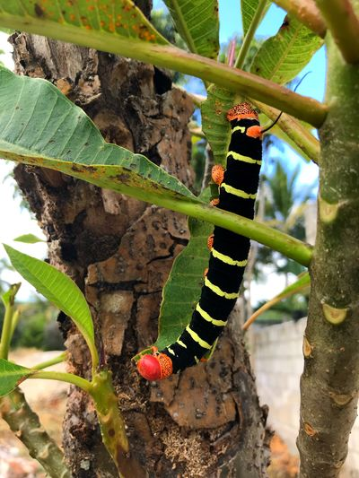 Pseudosphinx tetrio 🐛 Nature Photography Nature Colors Outdoors Hornworm Chenille Caterpillar Caterpillar Insect Animals In The Wild Animal Themes Day One Animal Green Color Leaf Nature Close-up