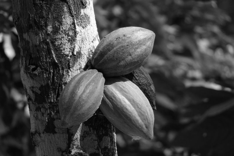 Black & White Black And White Black And White Photography Blackandwhite Close-up Cocoa Day Focus On Foreground Food Food And Drink Freshness Nature No People Nut - Food Outdoors Tree Tree Trunk