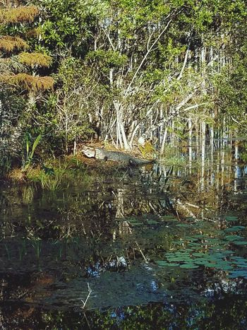 😍🐍🐢🐊🌲🌴🌿 Water Reflection Nature Outdoors Backgrounds Growth Tree Green Color Day Beauty In Nature Marsh Everglades  West Palm Beach Florida Alligators Gators