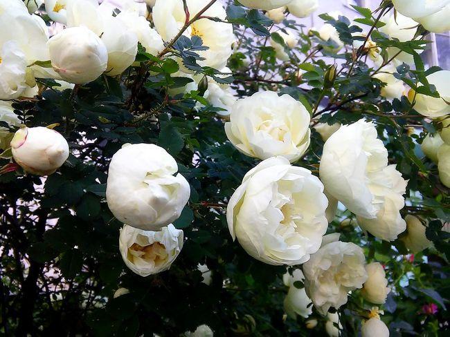 🌸🍀🌱 EyeEm Gallery Dogrose White Flower Summer June Warm Goodtime Buds