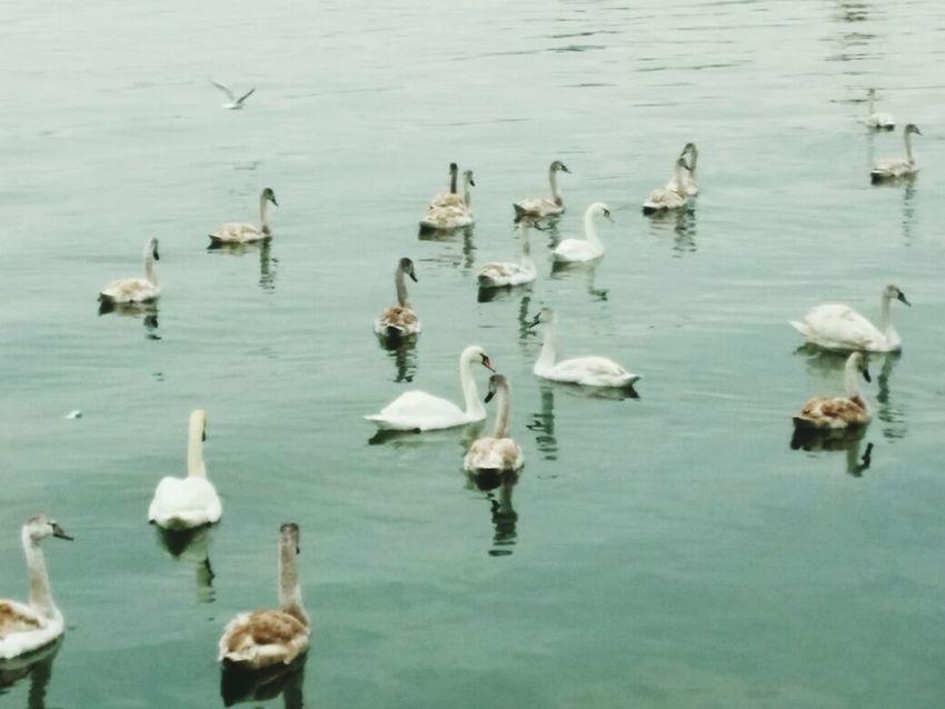 Kerch Swans