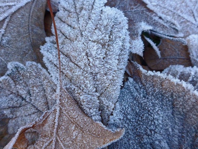 Backgrounds Beauty In Nature Close-up Cold Temperature Frozen High Angle View Hoarfrost Leaf Vein Leaves Nature Outdoors White Frost Winter Winter Leaves