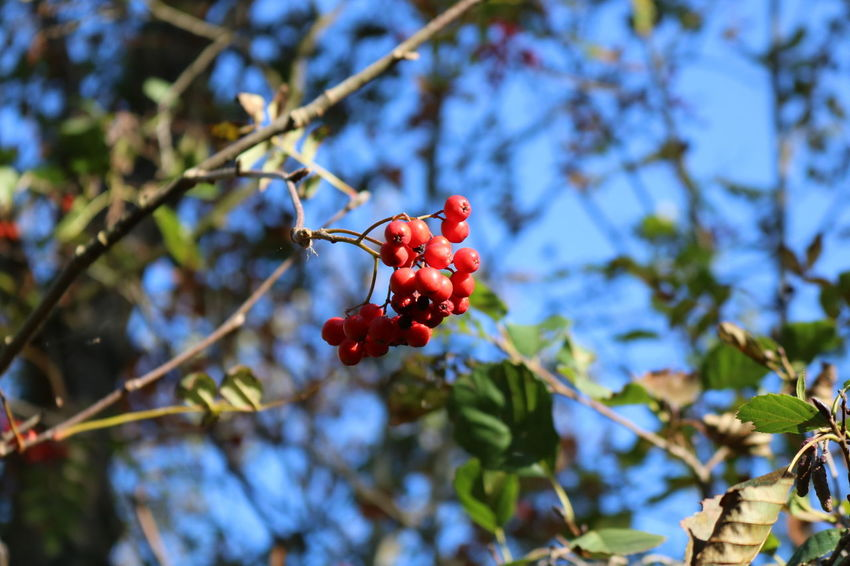 Bos en Duin Outside Photography Today ♥ EyeEm Selects Tree Branch Fruit Red Leaf Close-up Plant