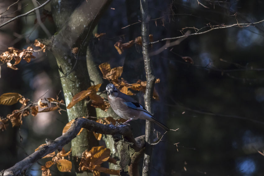 An eurasian jay on a branch Branches Eurasian Jay Garrulus Glandarius Nature Tree Abnimal Animalsworld Bird Birds Birds World Birdslife Blue Brown Feather Of A Bird Feathers Of Birds Jays, Landscape Outdoors Plumage Wildlife
