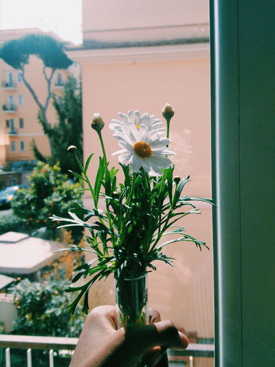 Cropped hand of person holding vase with white daisies at window