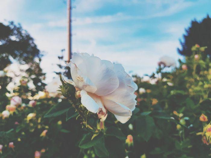 colors#nature # white #magic Prickly Pear Cactus Tree Defocused Close-up Sky Plant Blooming Flower Head Dahlia