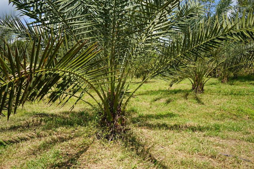 Barhi Dates Dates On Date Palm Barhi Date Palm Date Palm Garde Date Palm Tree Date Palms Grass Palm Leaf