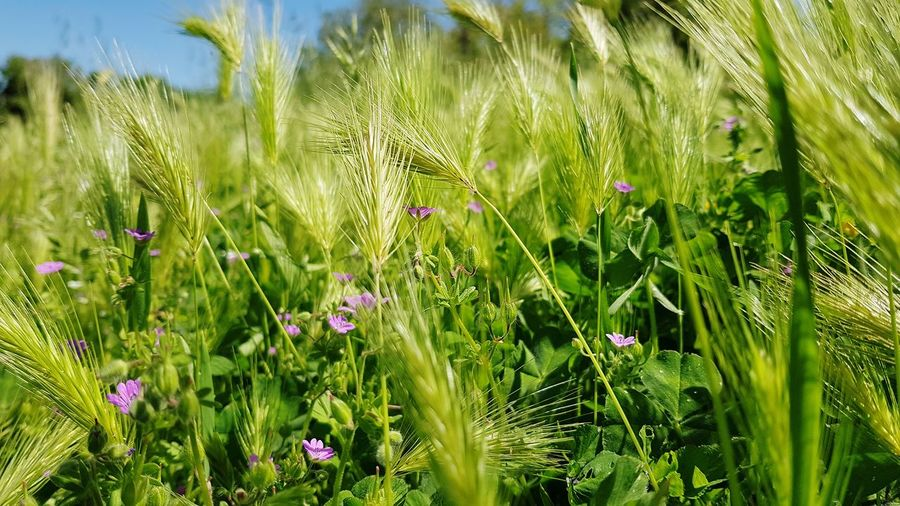 Flower Field Rural Scene Close-up Grass Plant Green Color Ear Of Wheat Cultivated Land Agricultural Field Mustard Plant Plantation Patchwork Landscape Plowed Field Farm Rice Paddy Oilseed Rape Grain Crop  Barley Cereal Plant Plant Life Wheat Growing Wildflower In Bloom Farmland