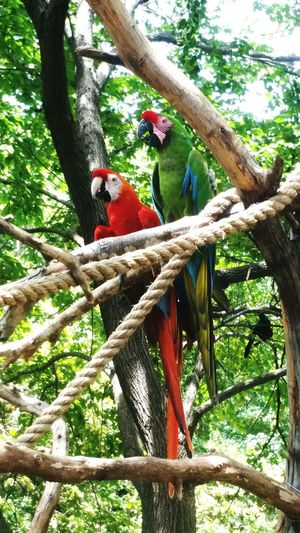 A Closeup of a Pair of Macaws Bird Photography Animal Face Texas Nature Nature Photography Texas Photographer Zoo Dallas Zoo Zoo Animals  Close Up Great Green Macaw Bird Perching Tree Branch Red Tree Trunk Macaw Scarlet Macaw Animals In Captivity