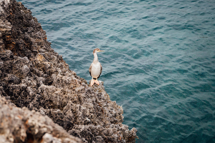 High angle view of a european shag perching on rock in sea