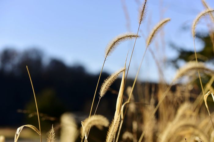 EyeEm Selects tall grasses in Autumn Nature Growth Plant Close-up Outdoors Day Focus On Foreground Cereal Plant No People Beauty In Nature Agriculture Freshness Rural Scene Fragility Sky Bradleywarren Photography Copy Space Galena, Illinois Bradley Olson Room For Copy Background Room For Text Uncultivated Country