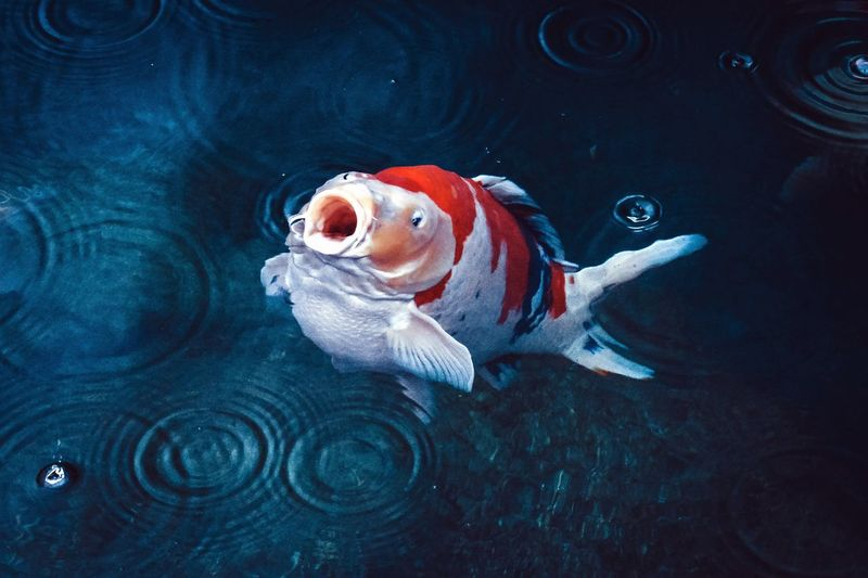 Red And White Koi Carp Fish Underwater