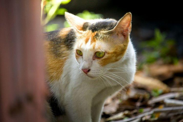 Cat, pet, tricolor