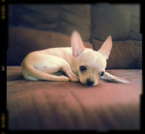 Tony Chihuahua Puppy Mybaby Modelpuppy