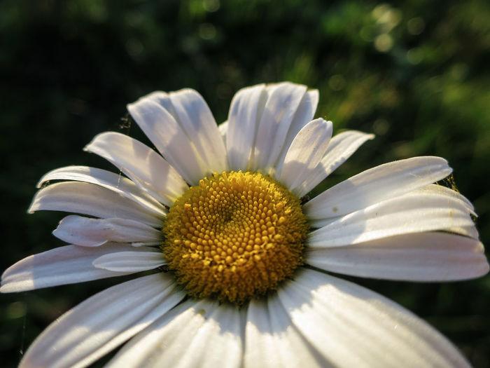 Daisy Flowerbed In My Garden Visingsö