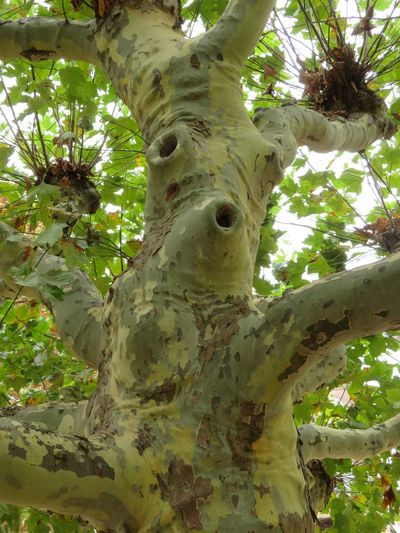 Face in a tree, plane tree stem Face In The Tree Antropomorphic Branch Close-up Day Green And Brown Color Growth Interesting Shapes Of Nature Low Angle View Nature No People Outdoors Plane Trees Plant Tree Tree Trunk Trunk