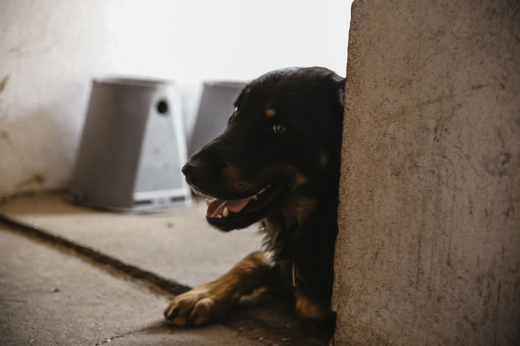 // farmer dog // ASIA Holiday Animal Animal Head  Animal Themes Canine Close-up Day Dog Domestic Domestic Animals Focus On Foreground Indoors  Looking Looking Away Mammal Mouth Open No People One Animal Pets Relaxation Sitting Vertebrate Wall - Building Feature