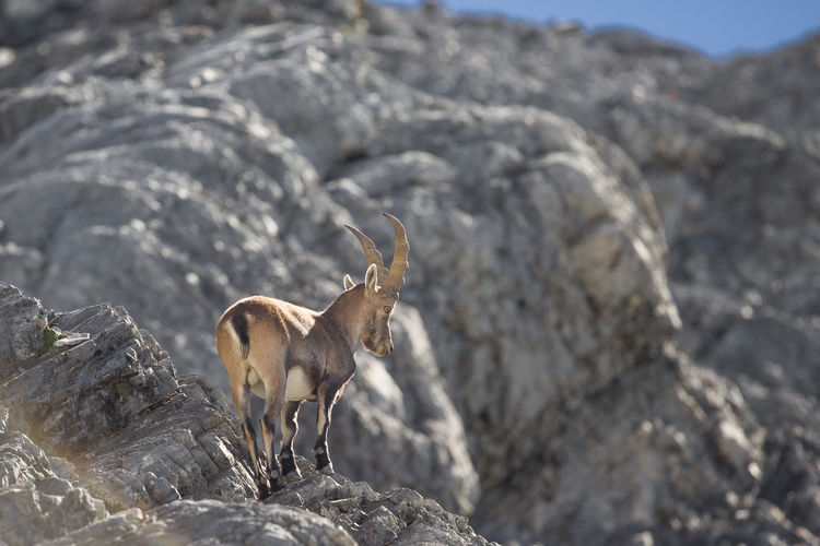 Ibex On A Rock Animal Themes Animals In The Wild Day Ibex Italian Alps Mammal Mountain Animal Nature No People One Animal Outdoors Rocks