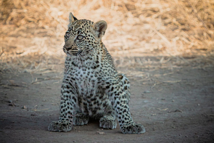 Close-up of leopard sitting on land