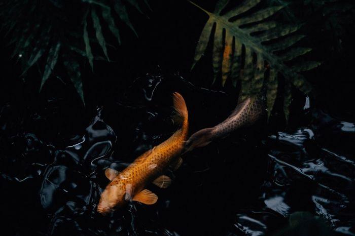 Koi fish in the water 2 Animals In The Wild Animal Wildlife Swimming Animal Themes Nature Animal Water Underwater Group Of Animals Marine Fish School Of Fish