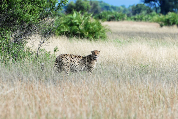Portrait of cheetah standing on grassy field