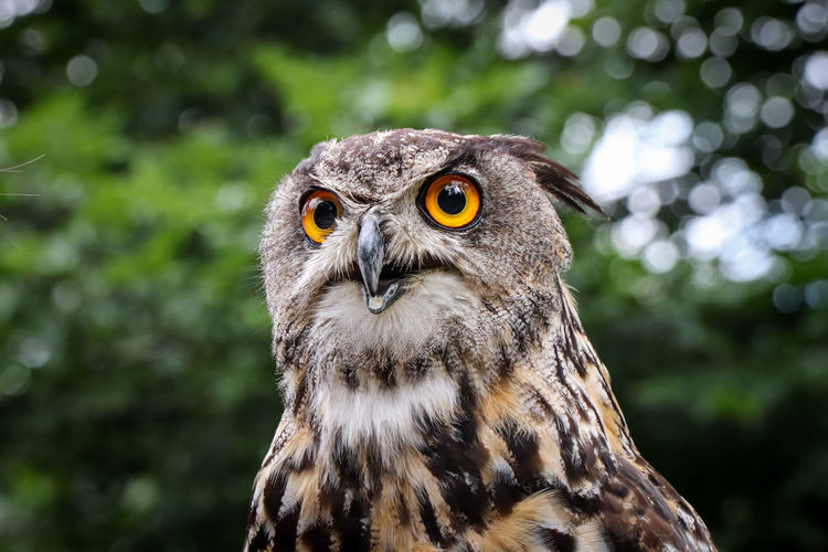 Portrait of a eurasian eagle-owl with a serious expression with glowing eyes sitting on a branch
