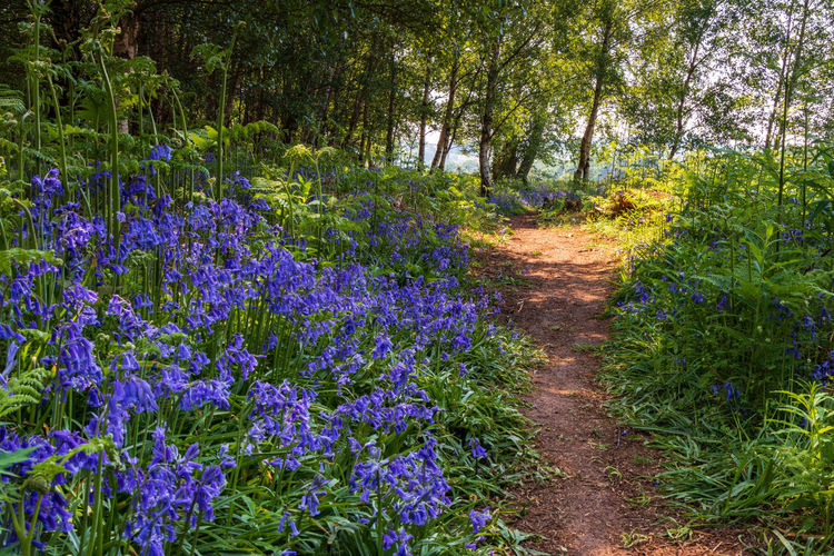 Landscape_Collection Nature Nature Photography Path Tree Trees Walk WoodLand Beauty In Nature Bluebells Flower Forest Forest Photography Forestwalk Landscape Landscape_photography Landscapes Nature Nature_collection Path In Nature Pathway Sunlight Trail WoodLand Woodlands