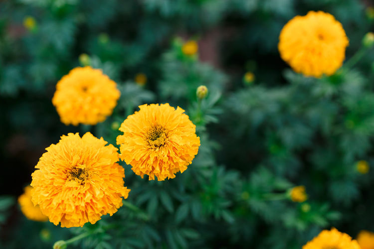 Flower Yellow Nature Plant Outdoors Flower Head Day Focus On Foreground No People Freshness Beauty In Nature Close-up Growth Fragility Multi Colored