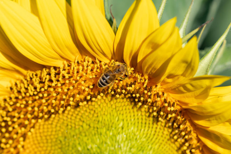 Close-up of honey bee pollinating on sunflower